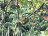 Bradypus variegatus (Rambala, Bocas del Toro, Panama)